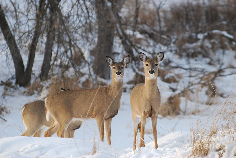 winter-deer-janelle-streed